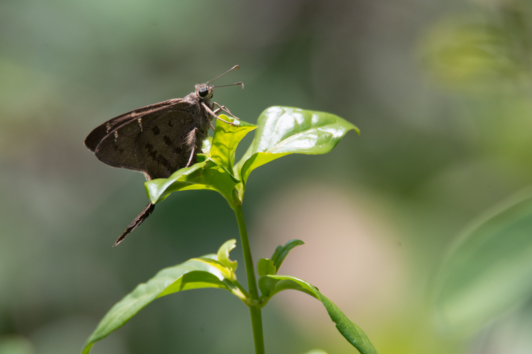 Brown Longtail Butterfly