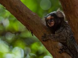 The Common marmoset