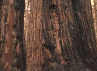 Tree Dryad Reveals Himself in Tree!