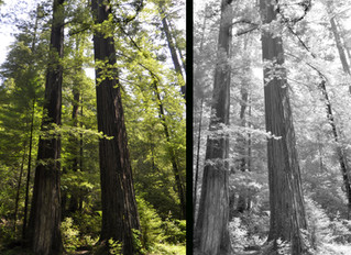 Tree Guardians Stand Tall in Forest