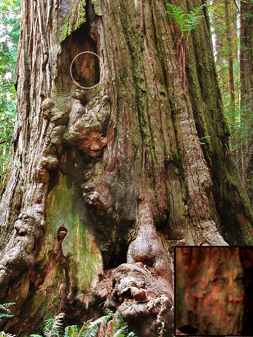 Beltrop Tree Spirit (11 x 14)