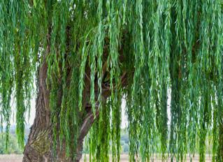 Singing Gnome Willow Tree - Take 2