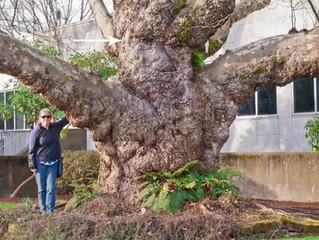 Healing Sycamore Tree