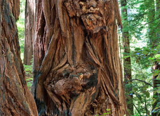 Ancient Guardian in Redwood Tree