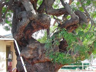 Enchanted Ancient Carob Tree!