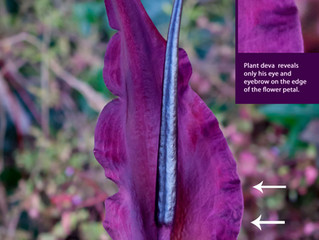 Plant devas can show up on the edge of a plant or flowers! Can you see them on the Dragon Lily plant