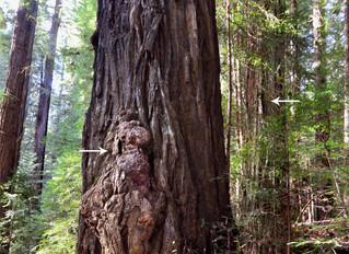 Guardian of Tree Reveals Himself!