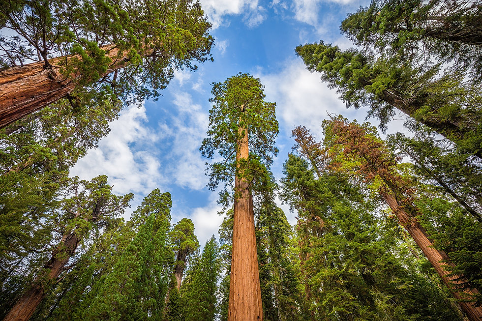 Wide Angle View Of Famous Giant Sequoia