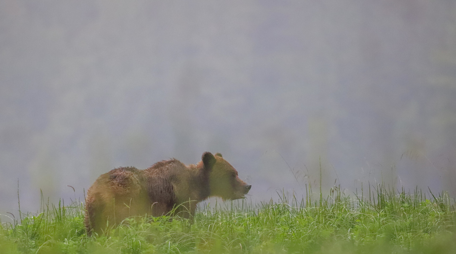 HC the grizzly in a sedge meadow.