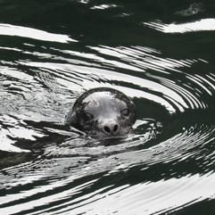 Curious seal pup called Dumpling.