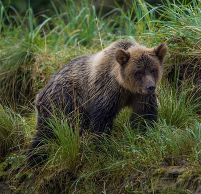 Grizzly bear cub.