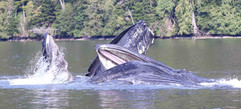 Humpback whales Wally and Bear bubble netting near the lodge in the Khutzeymateen, 2019