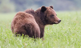Young female grizzly bear Lupine in the Khutzeymateen estuary, 2019.