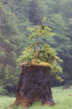 Nurse stump in the Khutzeymateen Grizzly Bear Sanctuary