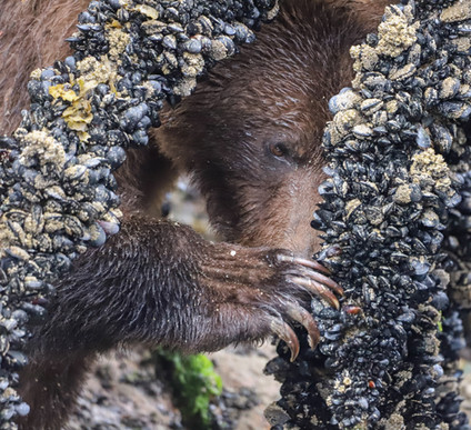 Grizzlies love a good meal of mussels.