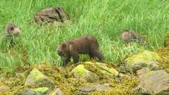 Grizzly bear cub eating sedge
