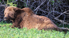 Monty grizzly bear lying down.