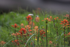 Wildflowers in the Khutzeymateen Grizzly Bear Sanctuary