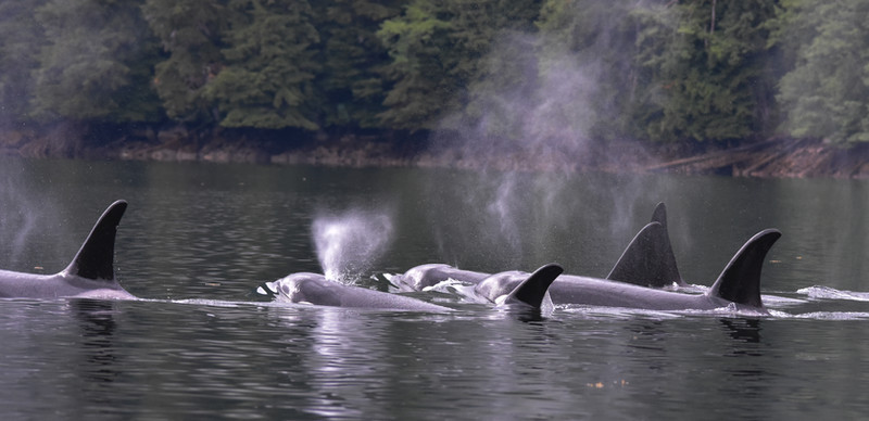 The A35 killer whales in the Khutzeymateen.