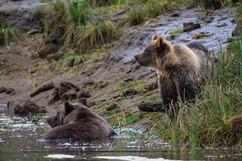 Cedar in the creek with her cub Honey.