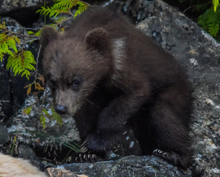 One of Blondie's brand new cubs in 2018.