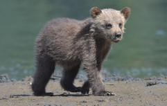 Blondie's COY (cub of the year) running to catch up to mum after having a quick nap.