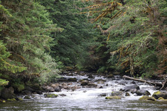 Larch Creek, where grizzlies fish for salmon in the Fall.