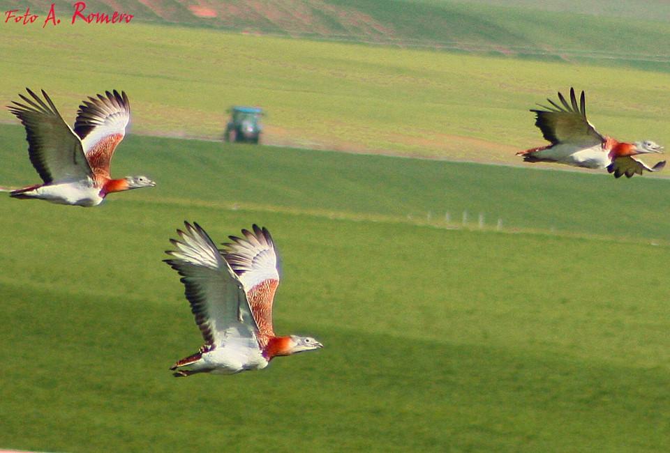 avutardas-volando-zepa-SanClemente.jpg