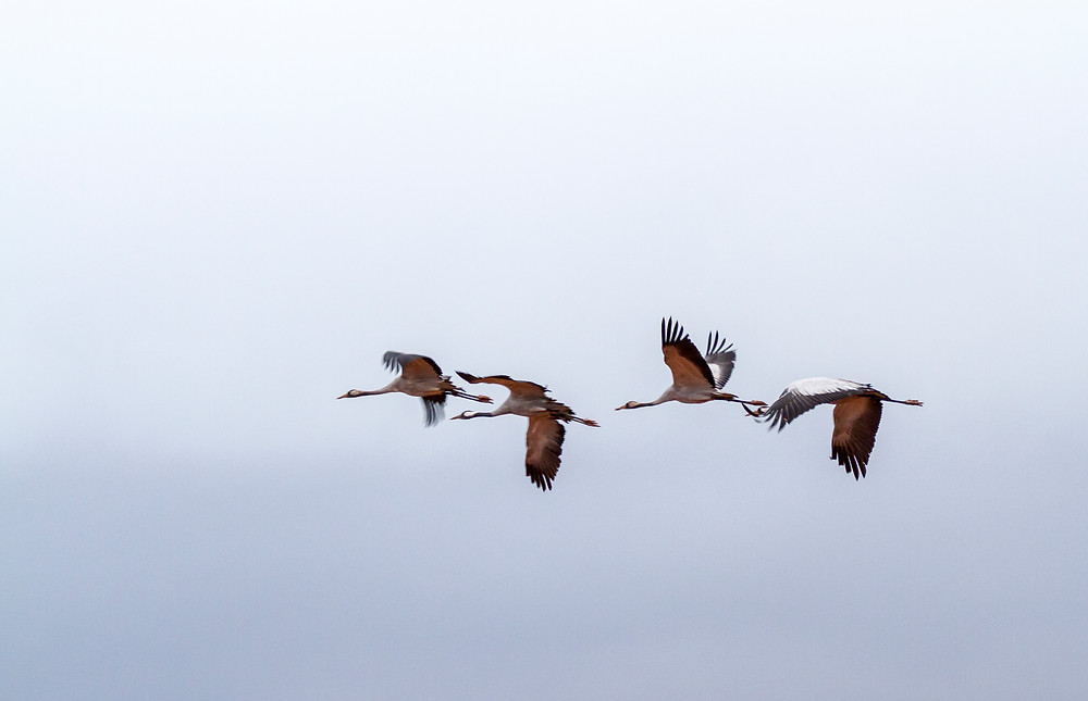 Bando de grullas (Grus grus) volando