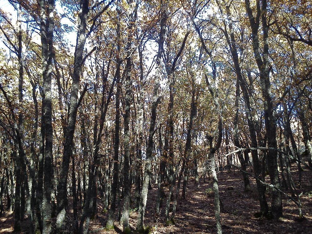 Imagen de los robledales de Quercus pyrenaica de San Pablo de los Montes