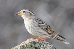 Gorrión Chillón-Rock Sparrow