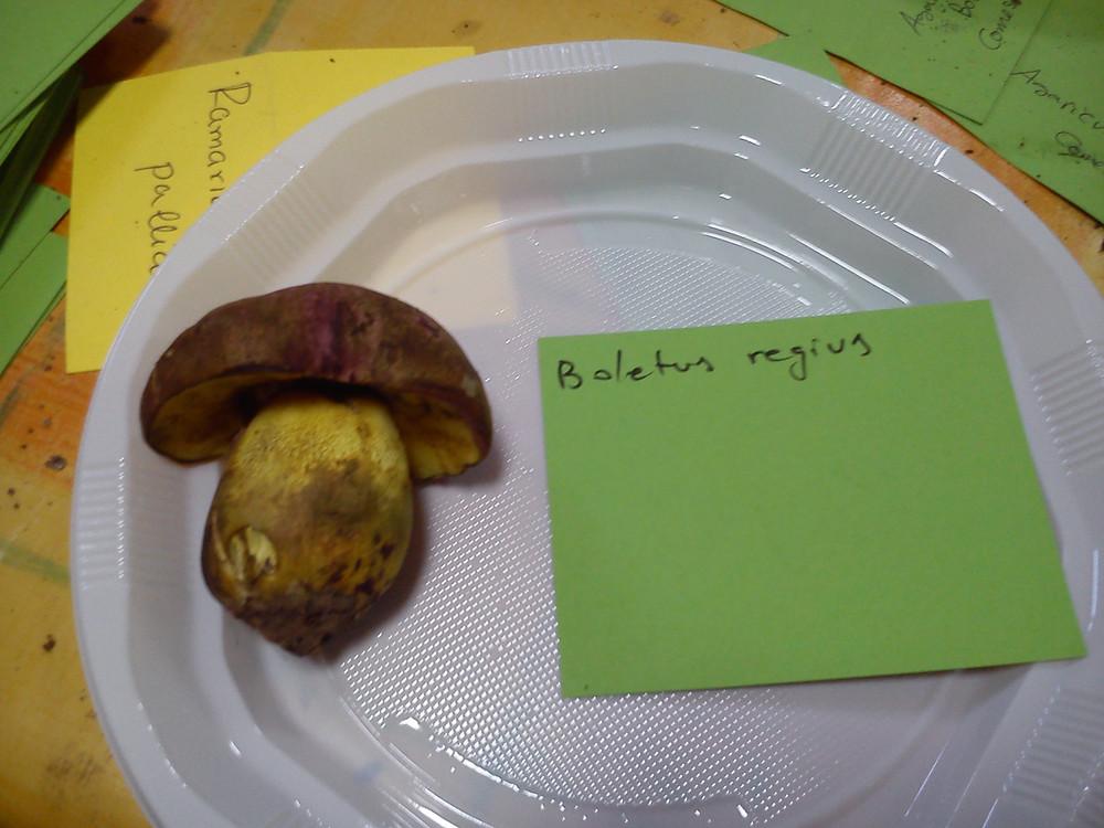 Ejemplar de Boletus regius recolectado en uno de nuestros cursos