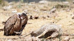 griffon vulture_Nerpio_20120708_PUM6020_Putze.jpg