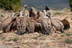 Grupo de buitres leonados