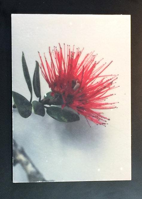 Hawaiian Ohia Lehu'a Blossom