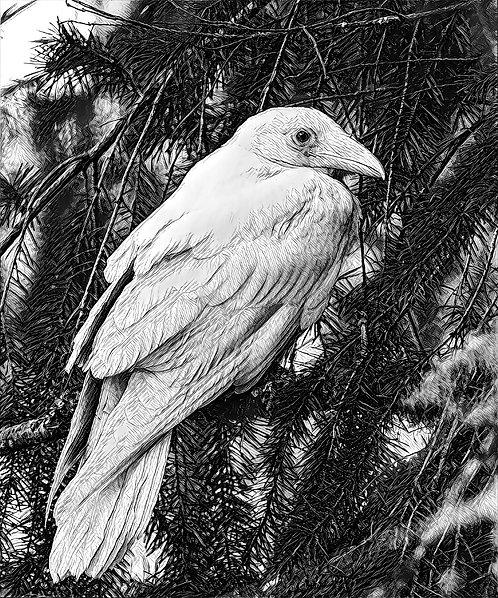 White Raven 9x12.