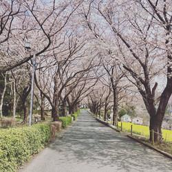 尾根緑道に咲く桜
