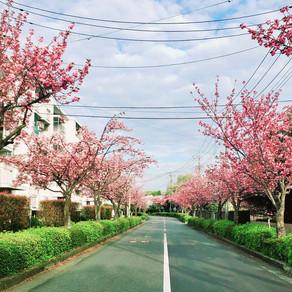 近隣の小山田桜台団地の八重桜です。