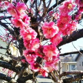 庭の紅梅の花が咲きました。