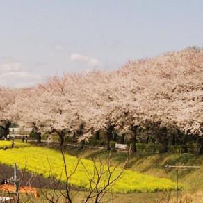 桜の名所「尾根緑道」