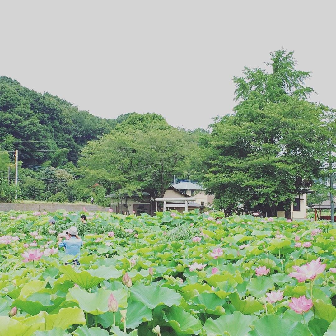 近所の蓮池