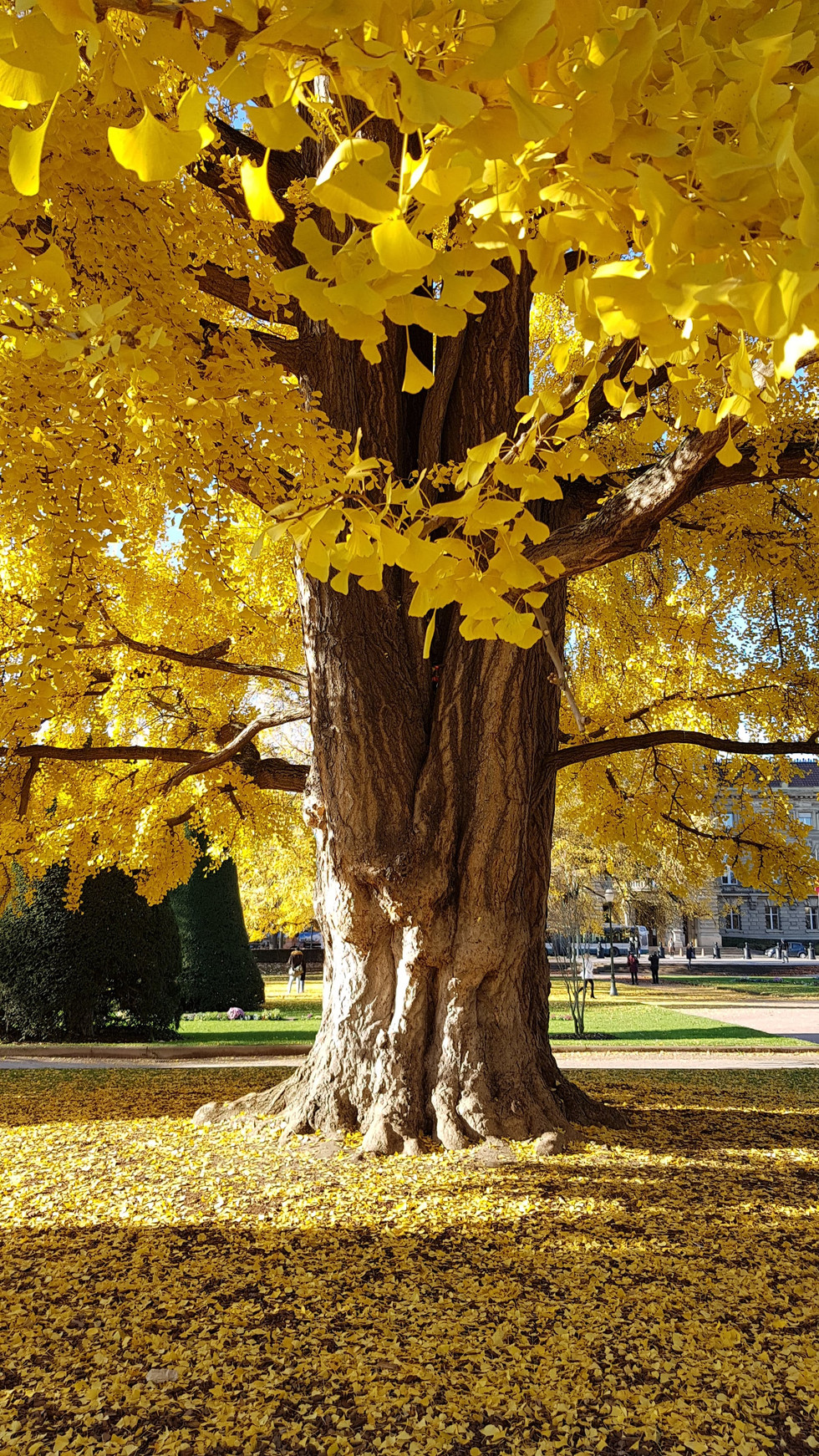 Gingko in the a