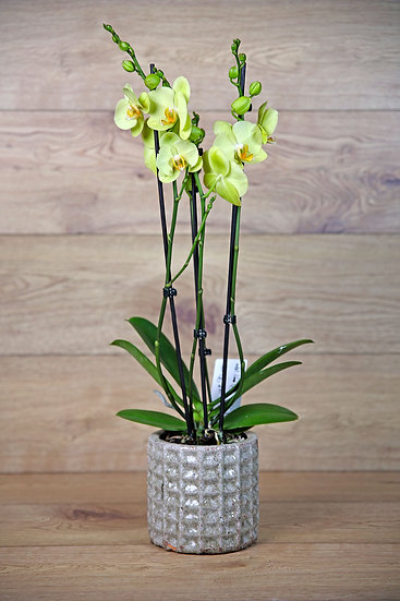 Orchidee mit Übertopf 20-01