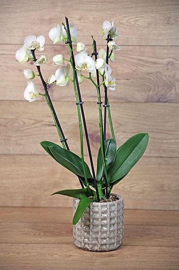 Orchidee mit Übertopf 20-03