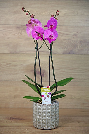Orchidee mit Übertopf 20-02