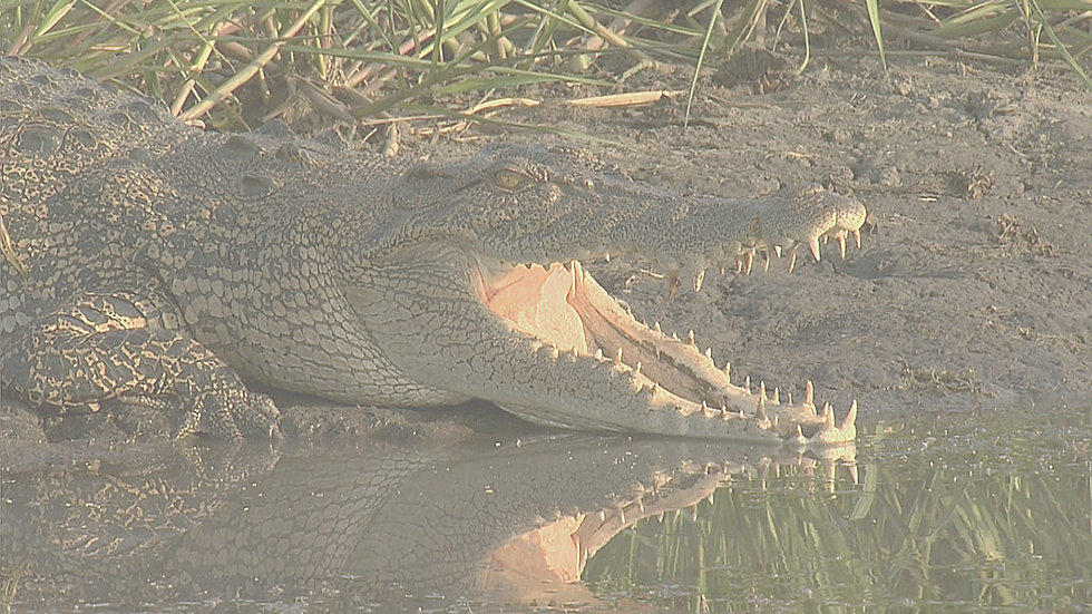 Croc bkgd.jpg