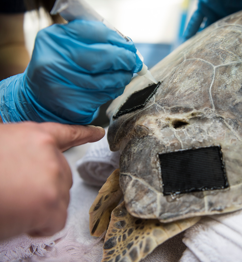 Josie Romasco glues velcro patches onto Harbor's shell to attach the weight packs as her intern, Lisa Betler points out a missed edge on Sept. 15, 2016 in the quarantine room at the Pittsburgh Zoo and PPG Aquarium in Highland Park. (Pittsburgh Post-Gazette)