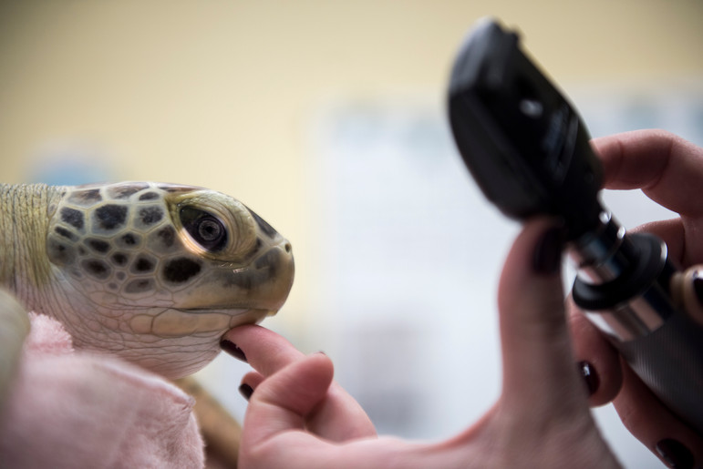 Harbor gets a physical exam from Dr. Alicia Hahn on Sept. 29, 2016 in an exam room at the Pittsburgh Zoo and PPG Aquarium in Highland Park. (Pittsburgh Post-Gazette)