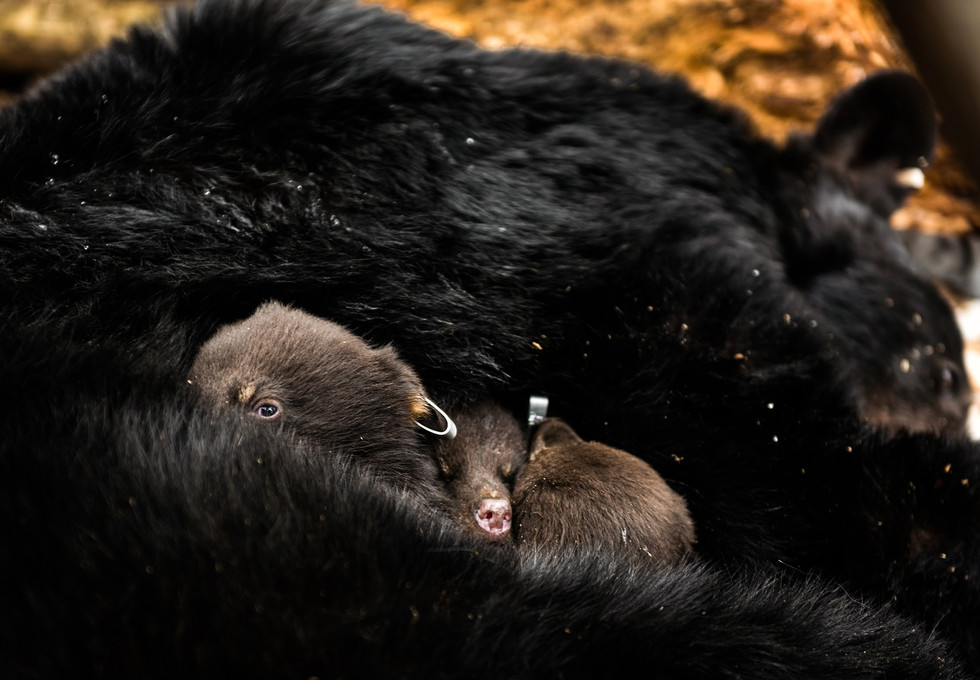 Three baby black bears are returned to the warmth of their mother's fur in their den after having their ears tagged on March 20, 2017 in Cambria County. The Game Commission tracks female black bears to their dens with radio collars to check their health and tag the ears of their cubs. (Pittsburgh Post-Gazette)