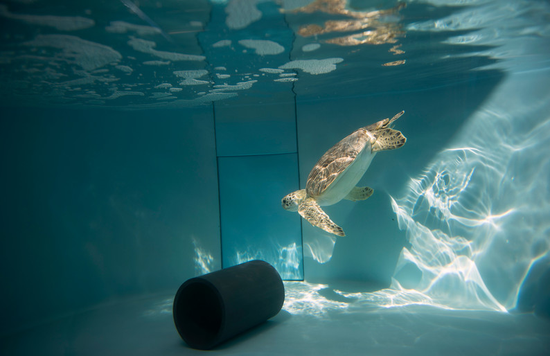 Harbor swims through a ray of sunshine in his tank in the quarantine room on Sept. 15, 2016 at the Pittsburgh Zoo and PPG Aquarium in Highland Park. (Pittsburgh Post-Gazette)